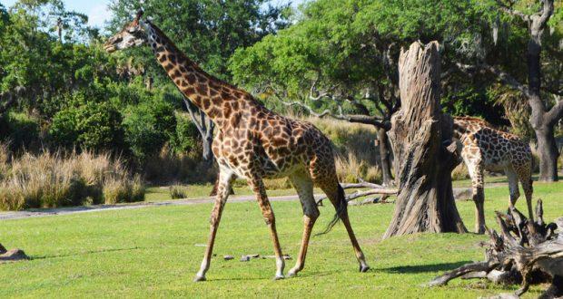 Image of: Nighttime Facts Secrets About Kilimanjaro Safaris At Walt Disney World Disneytipscom Facts Secrets About Kilimanjaro Safaris At Walt Disney World