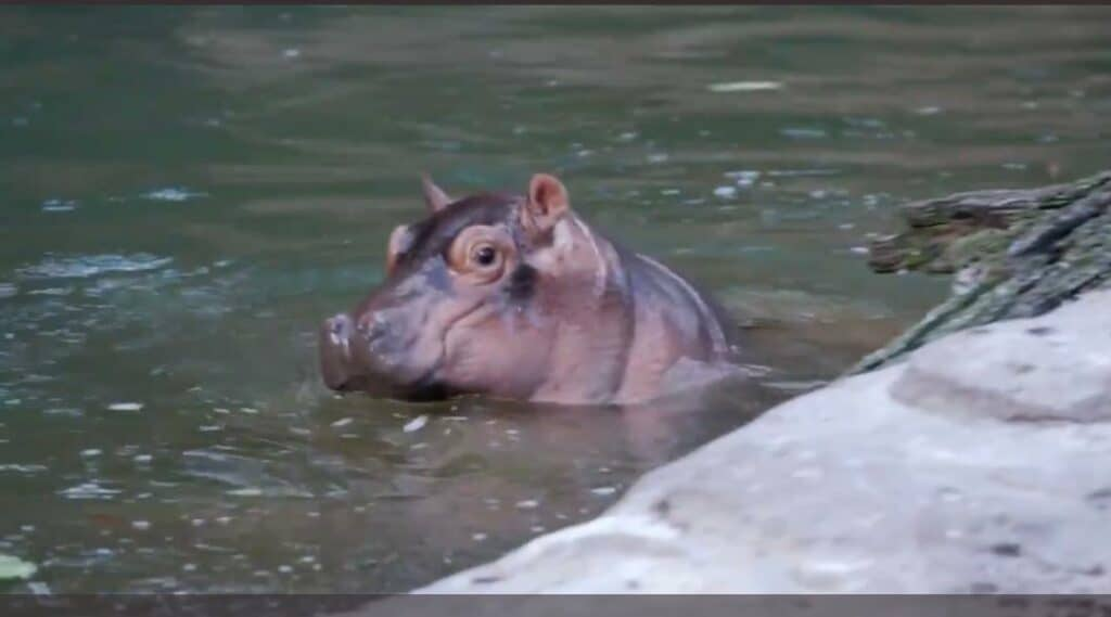 animal kingdom hippo
