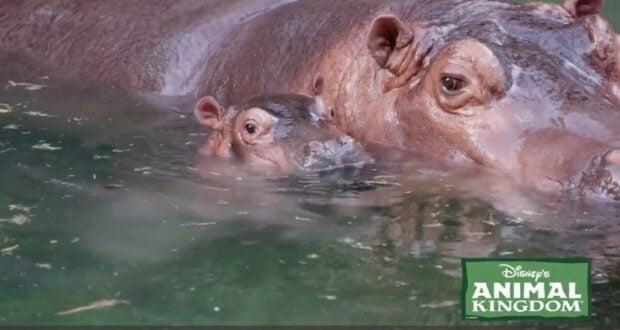 animal kingdom hippo greta